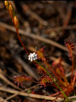 Common Pipewort<i>Eriocaulon aquaticum</i>