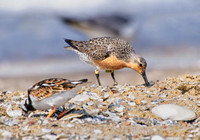 Red Knot and out of focus Ruddy Turnstone