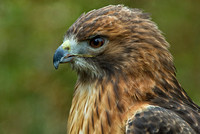 Redtail Hawk Portrait (captive)