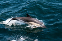 Dolphin Breaking the SurfaceGreat South Channel, Atlantic Ocean
