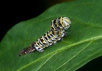 Black Swallowtail Butterfly CaterpillarThird Instar Stage, molt complete