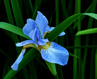 Iris from Van Vleck Gardens, Montclair, NJ