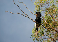 Black-and-white-casqued Hornbill, Bycanistes subcylindricus,Entebbe Botanical Garden