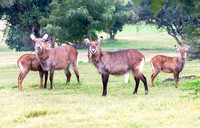 Waterbucks, females with babies