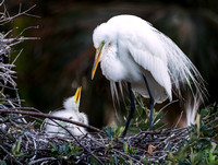Great Egret and her Chick