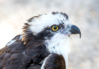 Eye of the Osprey